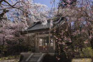 鐘撞堂と桜の写真素材 [FYI04846116]