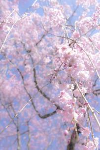 しだれ桜ファンシーの写真素材 [FYI04846117]