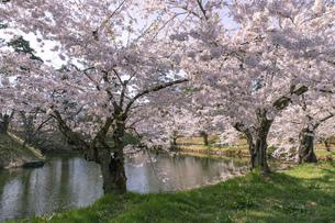 弘前市 弘前公園の満開の桜の写真素材 [FYI04846139]