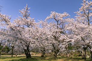 弘前市 弘前公園の満開の桜の写真素材 [FYI04846140]