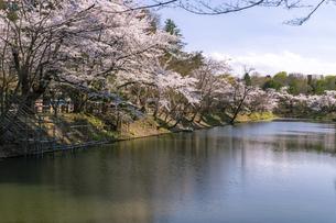 弘前市 弘前公園の満開の桜の写真素材 [FYI04846141]