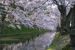 弘前市 弘前公園の満開の桜の写真素材 [FYI04846142]