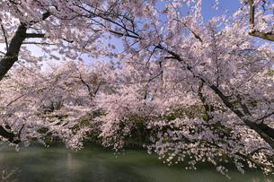 弘前市 弘前公園の満開の桜の写真素材 [FYI04846146]
