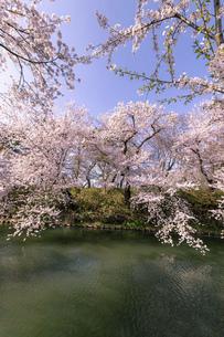 弘前市 弘前公園の満開の桜の写真素材 [FYI04846147]