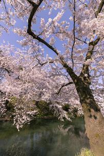 弘前市 弘前公園の満開の桜の写真素材 [FYI04846149]