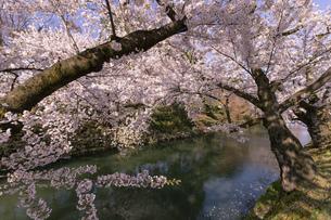 弘前市 弘前公園の満開の桜の写真素材 [FYI04846150]