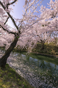 弘前市 弘前公園の満開の桜の写真素材 [FYI04846151]