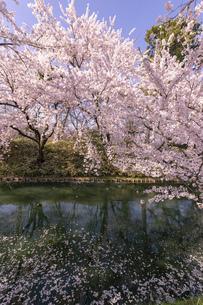 弘前市 弘前公園の満開の桜の写真素材 [FYI04846152]