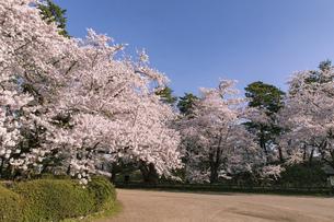 弘前市 弘前公園の満開の桜の写真素材 [FYI04846289]
