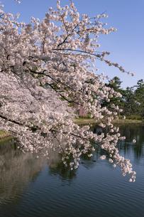 弘前市 弘前公園の満開の桜の写真素材 [FYI04846293]