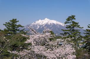 残雪の岩木山と桜の風景の写真素材 [FYI04846309]