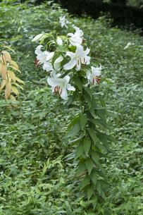 ユリの花の写真素材 [FYI04846378]