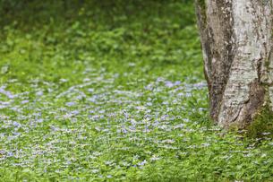 野菊の群生の写真素材 [FYI04846662]