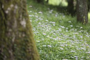 野菊の群生の写真素材 [FYI04846664]