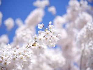 桜と青空の写真素材 [FYI04846693]