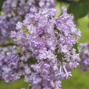 ライラックの花の写真素材 [FYI04846718]