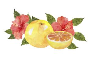 グレープフルーツとハイビスカスの花のイラスト素材 [FYI04846749]