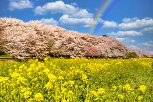 権現堂堤の桜並木にかかる虹の写真素材 [FYI04846937]