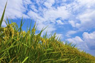 実った稲と青空の写真素材 [FYI04847000]