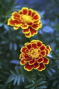マリーゴールド・赤に黄色の花の写真素材 [FYI04847198]