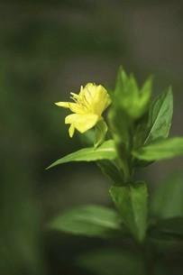 野草・マツヨイグサの花の写真素材 [FYI04847203]
