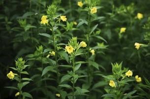 野草・マツヨイグサの花の写真素材 [FYI04847206]