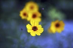 ハルシャギクの花の写真素材 [FYI04847208]