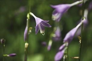 山野草・ギボウシの花の写真素材 [FYI04847214]
