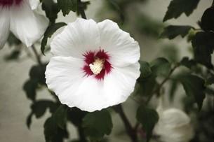 ムクゲの白い花の写真素材 [FYI04847217]