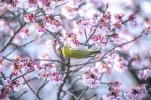 福成寺の寒桜とメジロの写真素材 [FYI04847236]