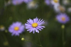 ブルーデージーの花の写真素材 [FYI04847244]
