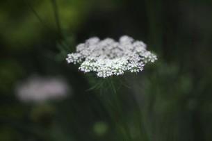 セイヨウノコギリソウの花の写真素材 [FYI04847247]