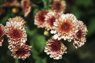 夏に出会った小菊の花の写真素材 [FYI04847250]