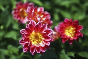 赤いダリアの花の写真素材 [FYI04847254]