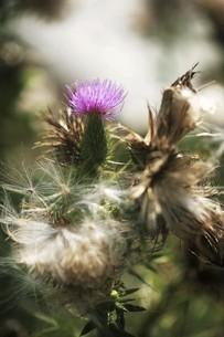 アメリカオニアザミ・残り花と綿毛の写真素材 [FYI04847255]