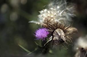 アメリカオニアザミ・残り花と綿毛の写真素材 [FYI04847256]