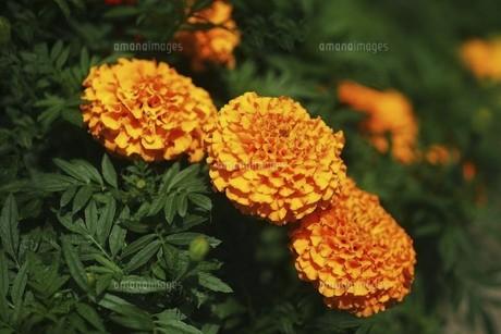 アフリカンマリーゴールドの花の写真素材 [FYI04847260]