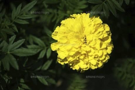 アフリカンマリーゴールドの花の写真素材 [FYI04847261]
