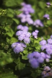 アゲタラム・カッコウアザミの花の写真素材 [FYI04847262]