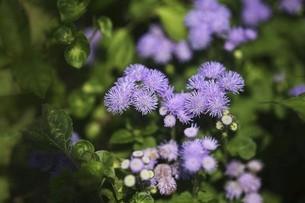 アゲタラム・カッコウアザミの花の写真素材 [FYI04847263]
