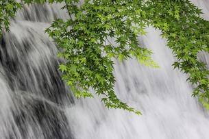 滝を背景にしたカエデの若葉の写真素材 [FYI04847288]