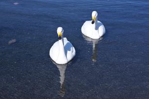 屈斜路湖のハクチョウの写真素材 [FYI04847340]