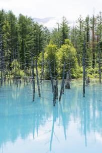 初夏の青い池 美瑛町の写真素材 [FYI04847427]