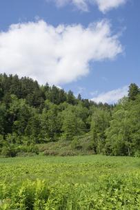 緑に包まれた初夏の高原 大雪山国立公園の写真素材 [FYI04847439]