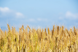 黄金色の麦の穂のクローズアップの写真素材 [FYI04847442]