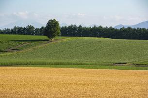 夏の畑作地帯の緑のシラカバの木の写真素材 [FYI04847444]