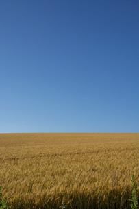 黄金色のムギ畑と青空の写真素材 [FYI04847446]