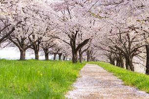 満開の桜並木の写真素材 [FYI04847547]