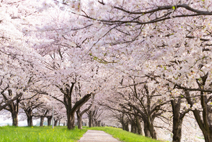 満開の桜並木の写真素材 [FYI04847548]