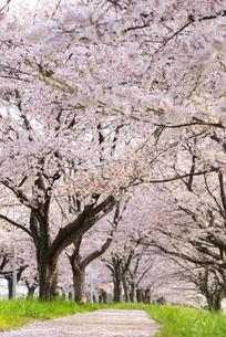 満開の桜並木の写真素材 [FYI04847550]